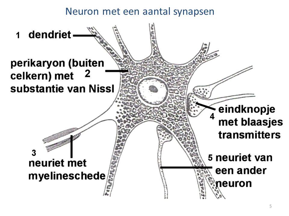 Neuron met een aantal synapsen