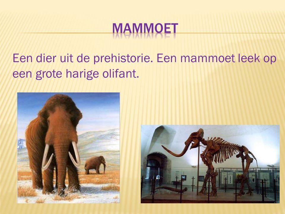 mammoet Een dier uit de prehistorie. Een mammoet leek op een grote harige olifant.