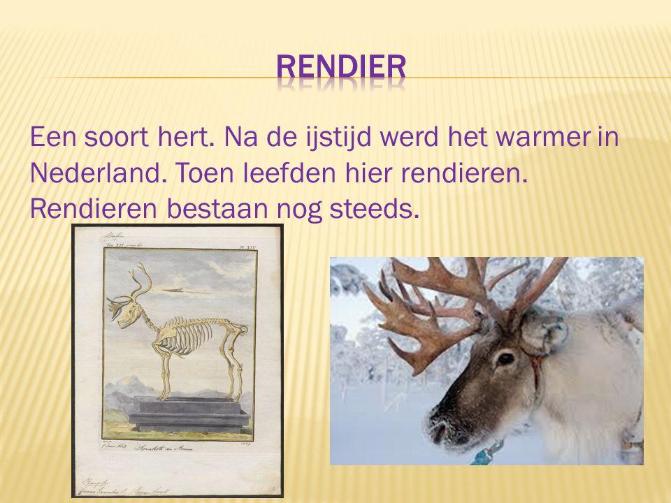 rendier Een soort hert. Na de ijstijd werd het warmer in Nederland.
