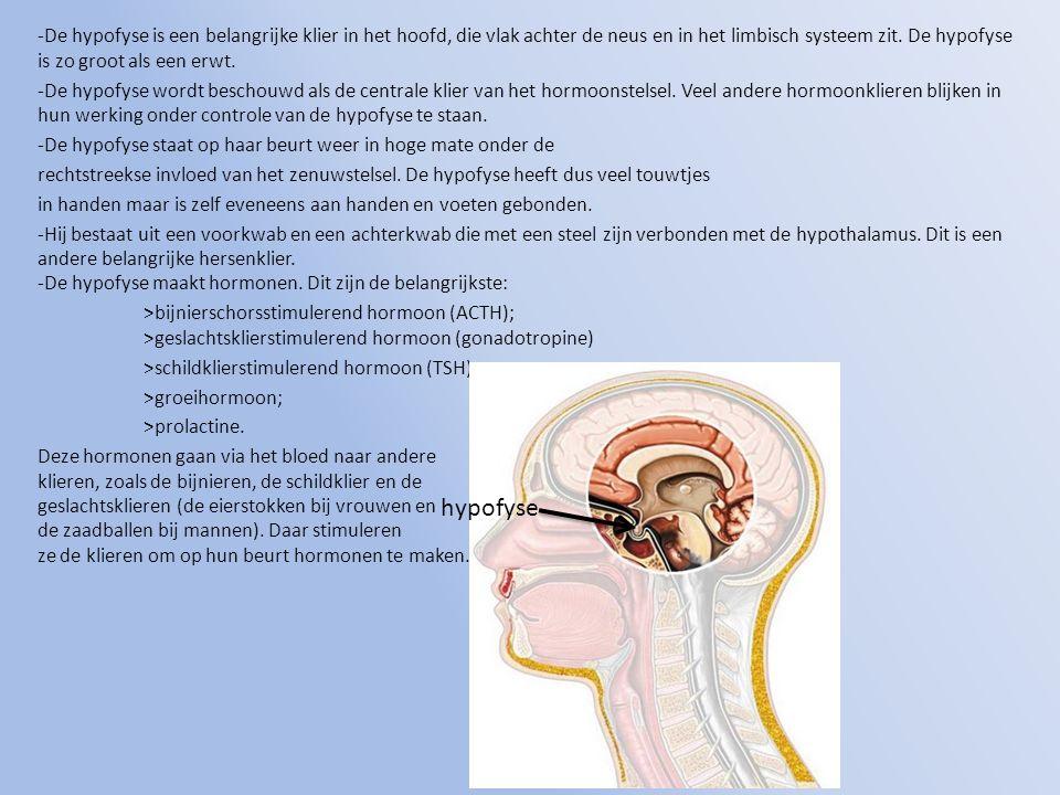 -De hypofyse is een belangrijke klier in het hoofd, die vlak achter de neus en in het limbisch systeem zit. De hypofyse is zo groot als een erwt.