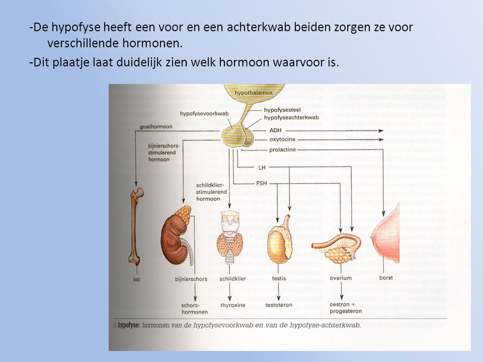 -De hypofyse heeft een voor en een achterkwab beiden zorgen ze voor verschillende hormonen.