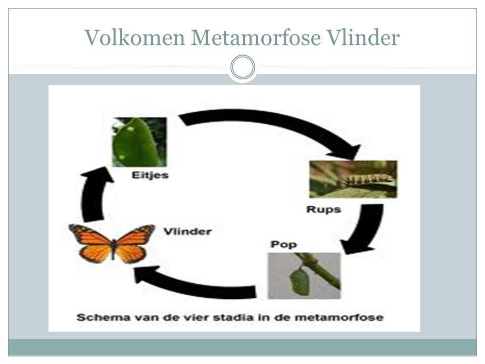 Volkomen Metamorfose Vlinder
