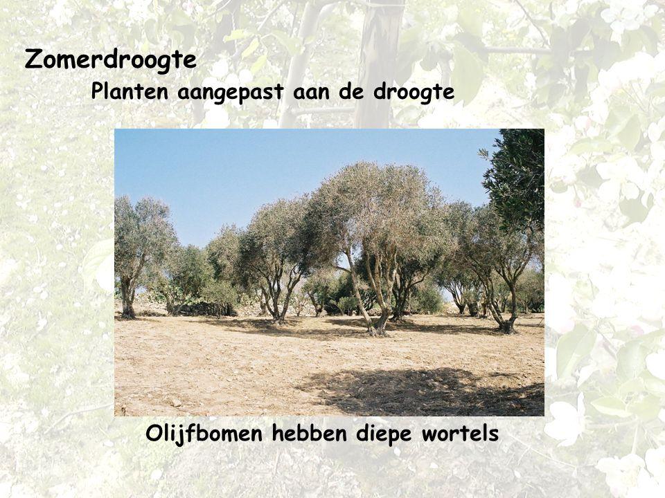 Zomerdroogte Planten aangepast aan de droogte