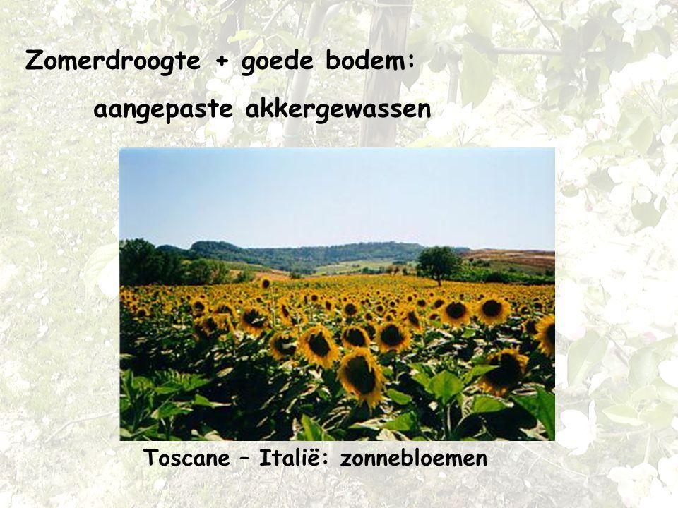 Zomerdroogte + goede bodem: aangepaste akkergewassen