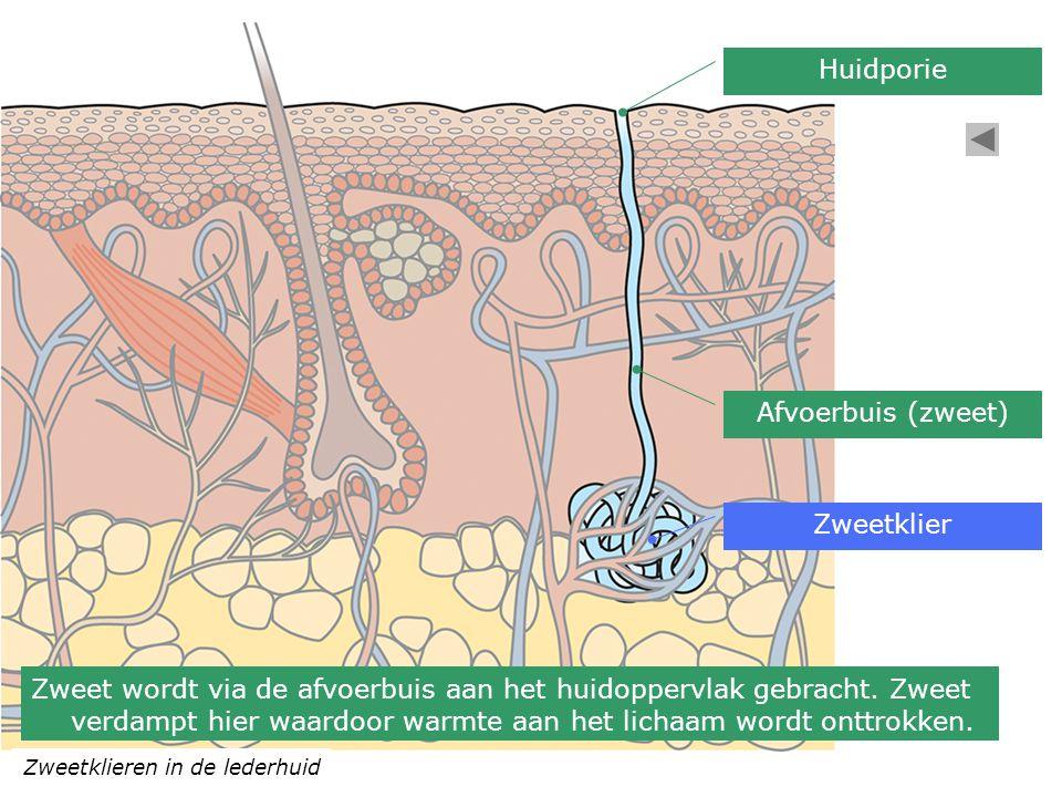 Huidporie Afvoerbuis (zweet) Zweetklier