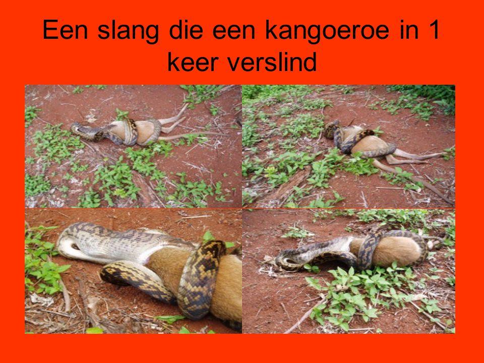 Een slang die een kangoeroe in 1 keer verslind