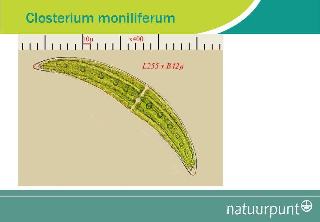 Closterium moniliferum