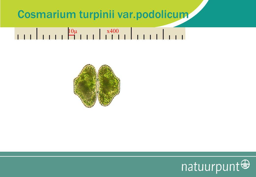 Cosmarium turpinii var.podolicum