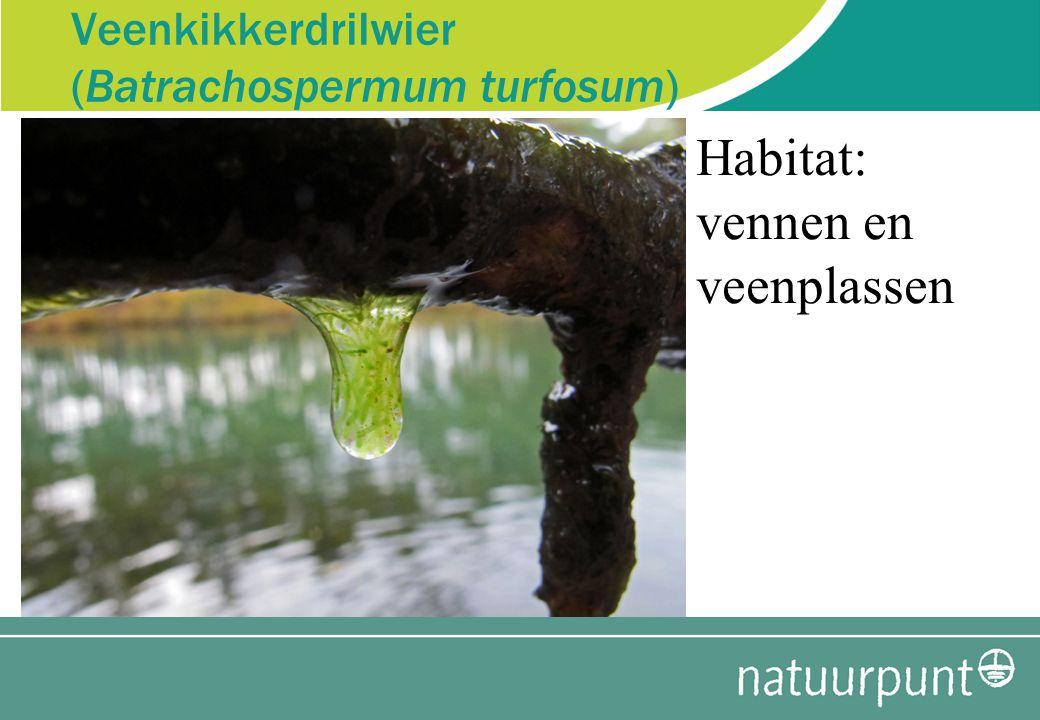 Veenkikkerdrilwier (Batrachospermum turfosum)