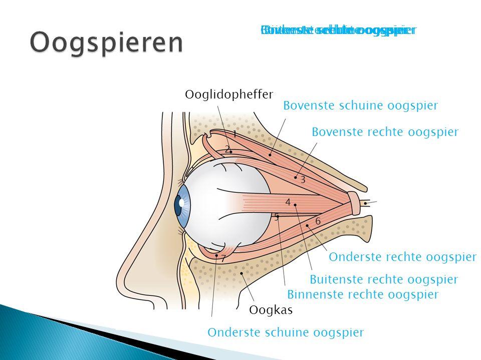 Oogspieren Buitenste rechte oogspier Onderste schuine oogspier