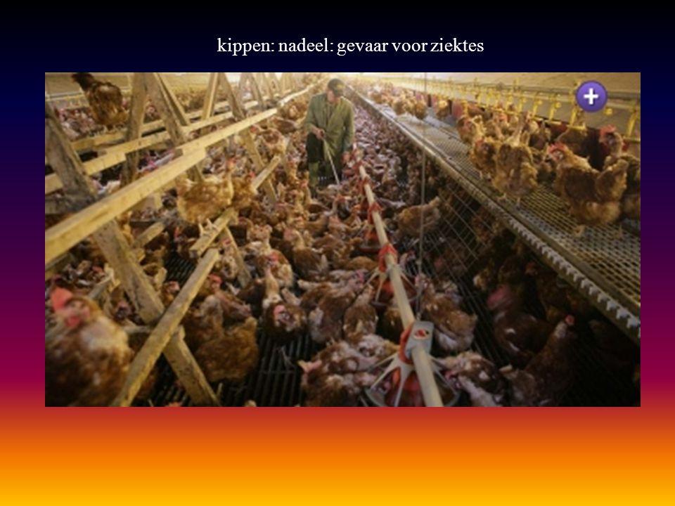 kippen: nadeel: gevaar voor ziektes
