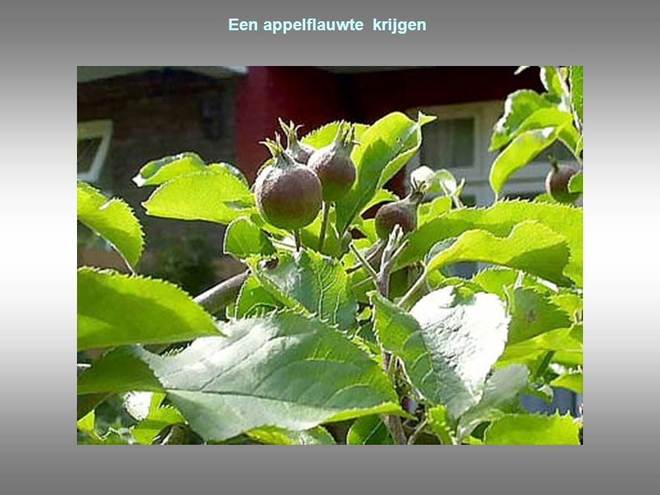 Een appelflauwte krijgen
