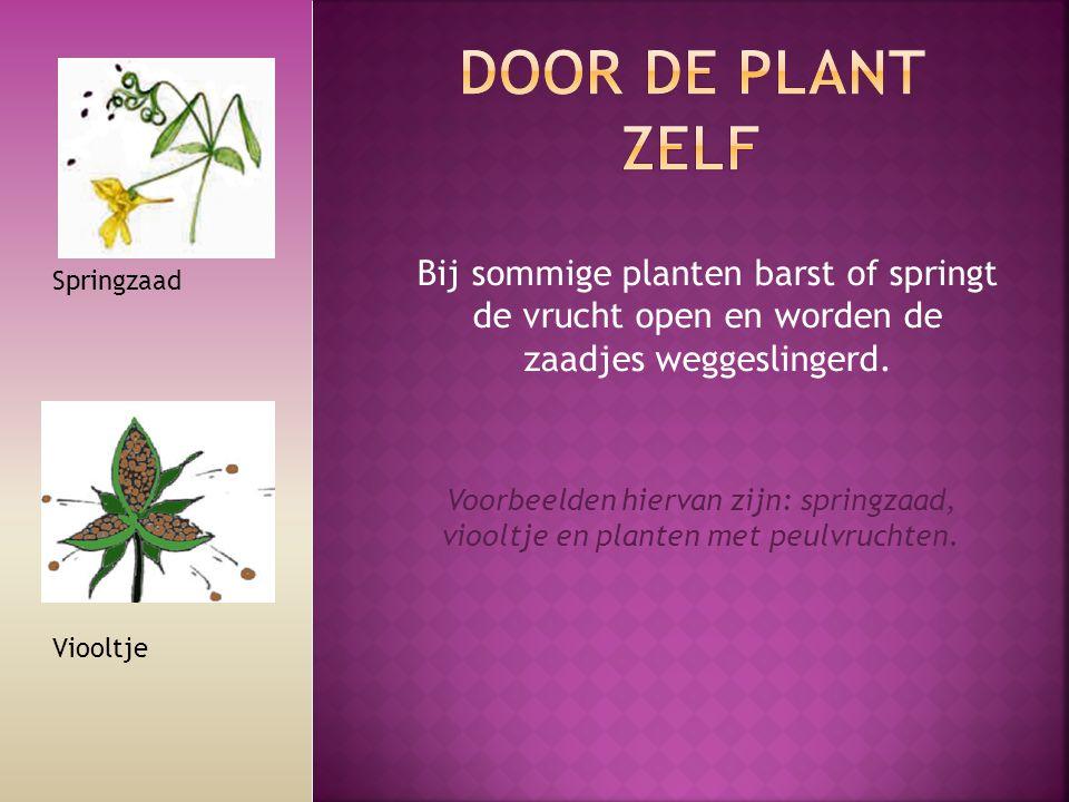 Door de plant zelf Bij sommige planten barst of springt de vrucht open en worden de zaadjes weggeslingerd.