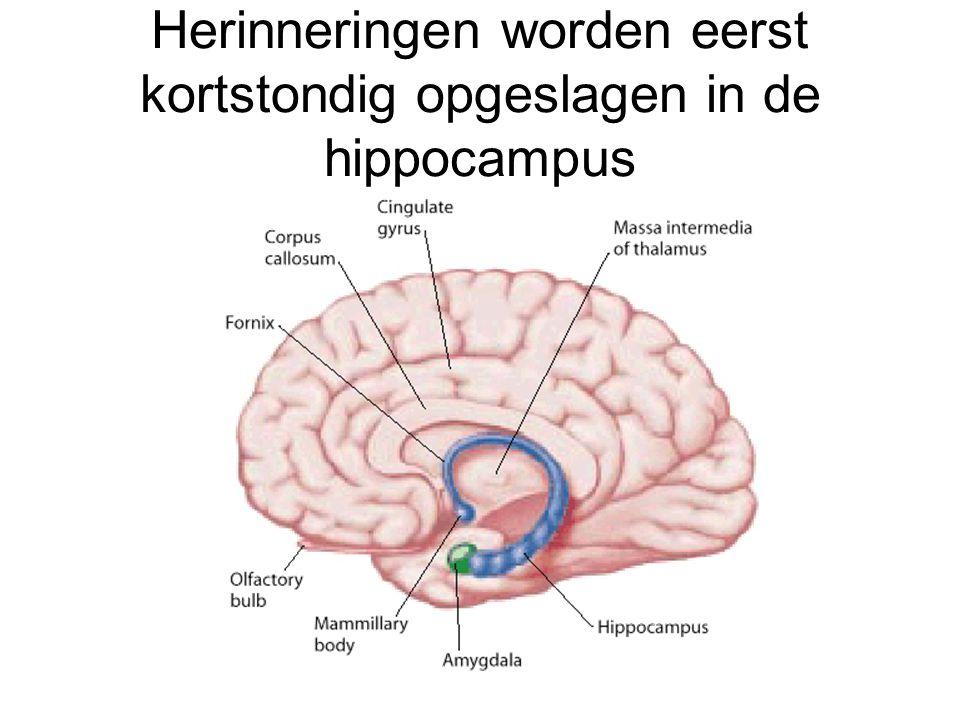 Herinneringen worden eerst kortstondig opgeslagen in de hippocampus
