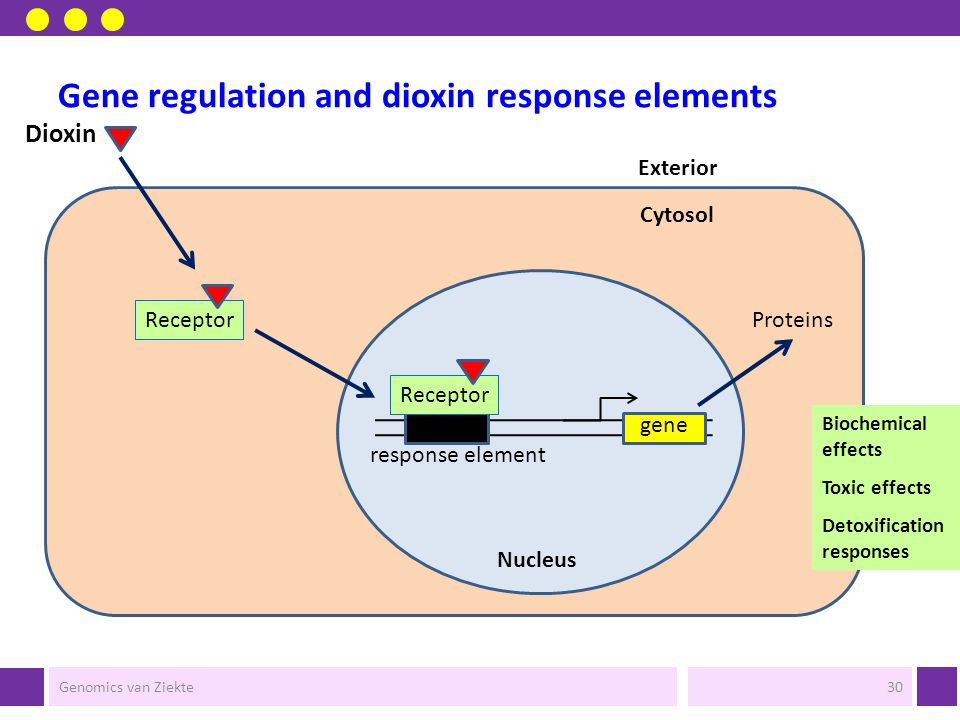 Gene regulation and dioxin response elements