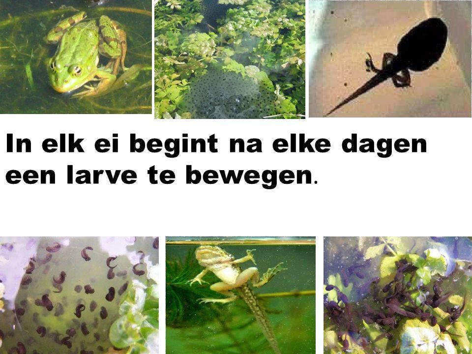 In elk ei begint na elke dagen een larve te bewegen.