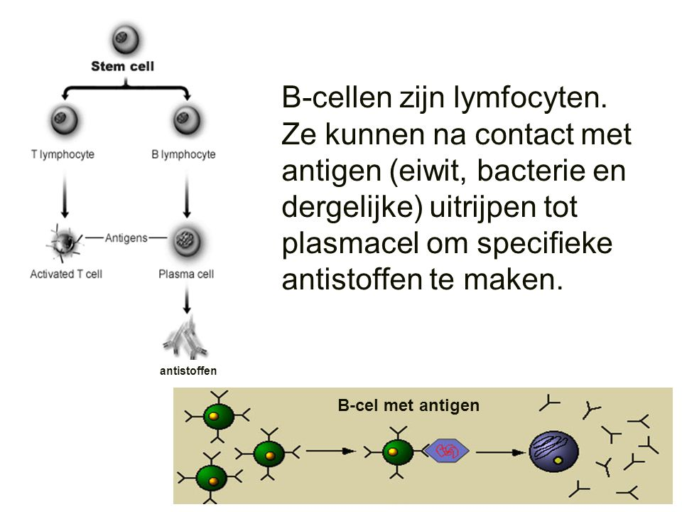 B-cellen zijn lymfocyten