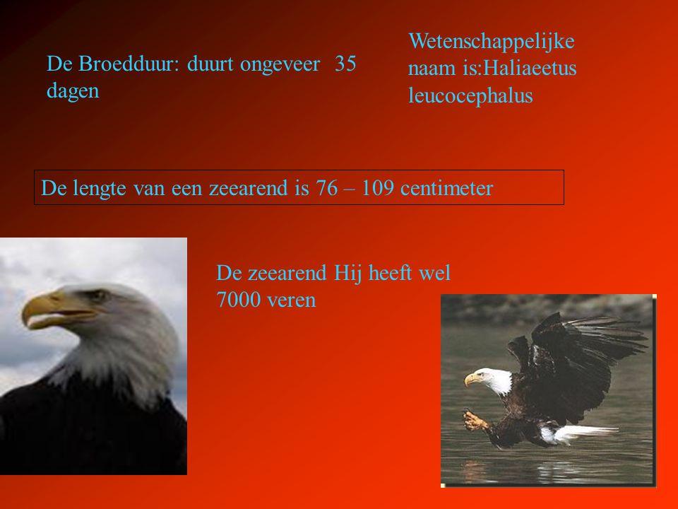 Wetenschappelijke naam is:Haliaeetus leucocephalus