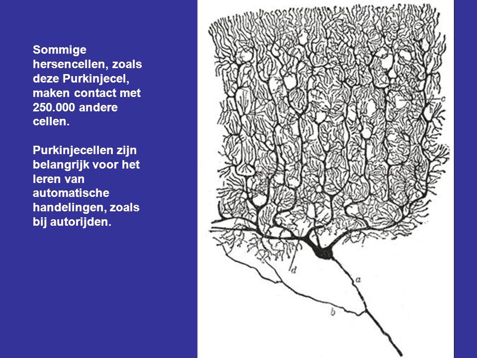 Sommige hersencellen, zoals deze Purkinjecel, maken contact met 250