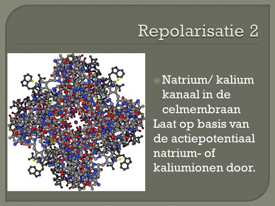 Repolarisatie 2 Natrium/ kalium kanaal in de celmembraan