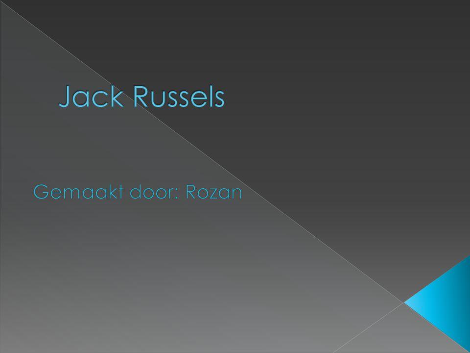 Jack Russels Gemaakt door: Rozan