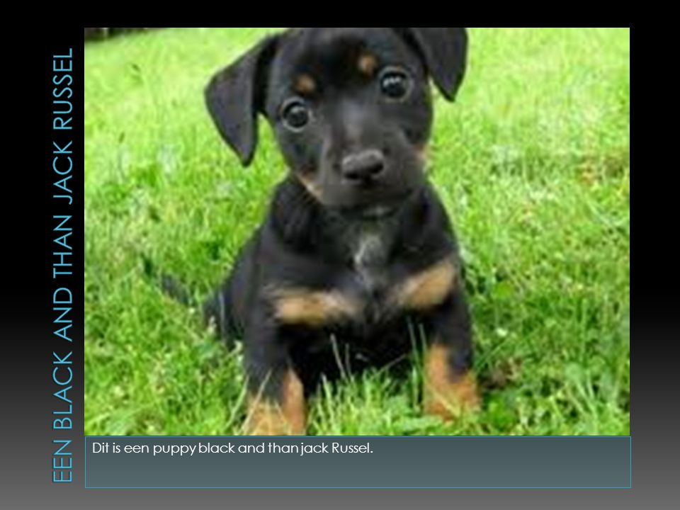 Een Black and than Jack Russel