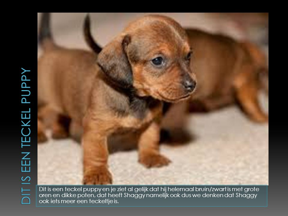 Dit is een teckel puppy