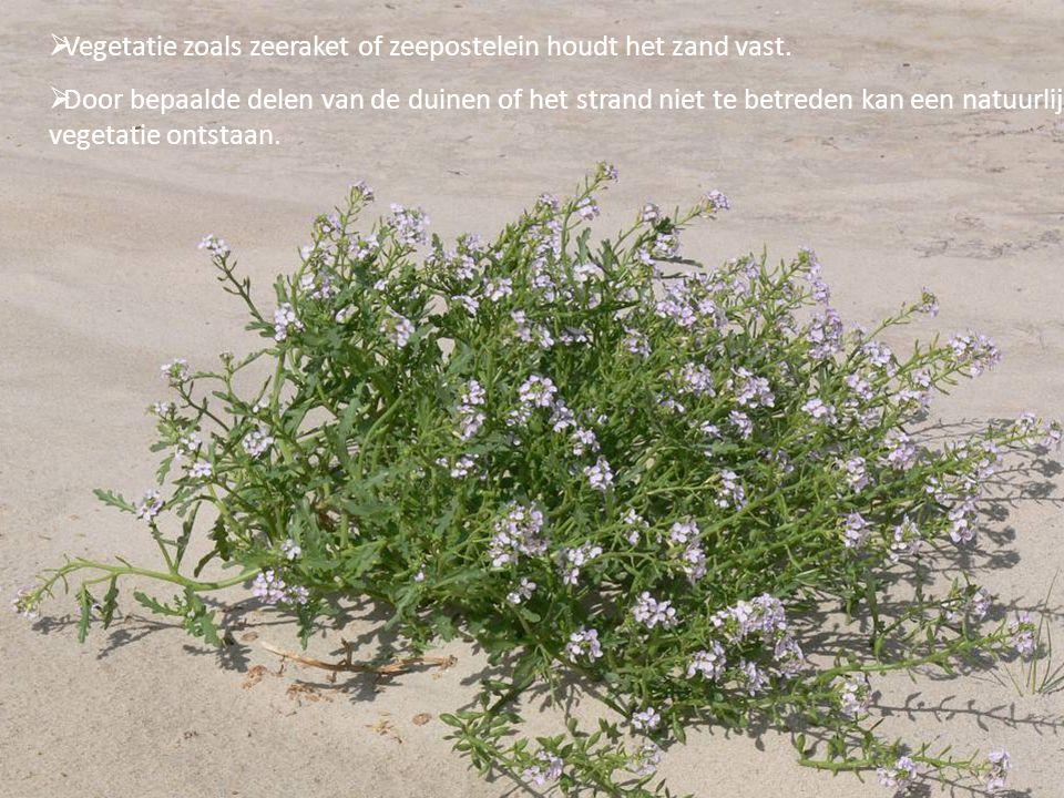 Vegetatie zoals zeeraket of zeepostelein houdt het zand vast.