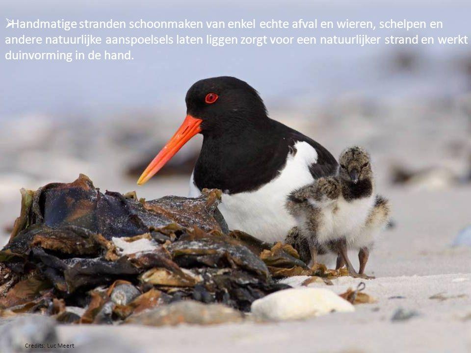Handmatige stranden schoonmaken van enkel echte afval en wieren, schelpen en andere natuurlijke aanspoelsels laten liggen zorgt voor een natuurlijker strand en werkt duinvorming in de hand.