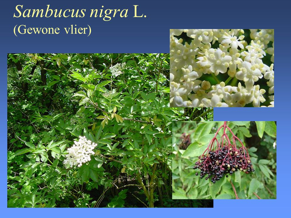 Sambucus nigra L. (Gewone vlier)