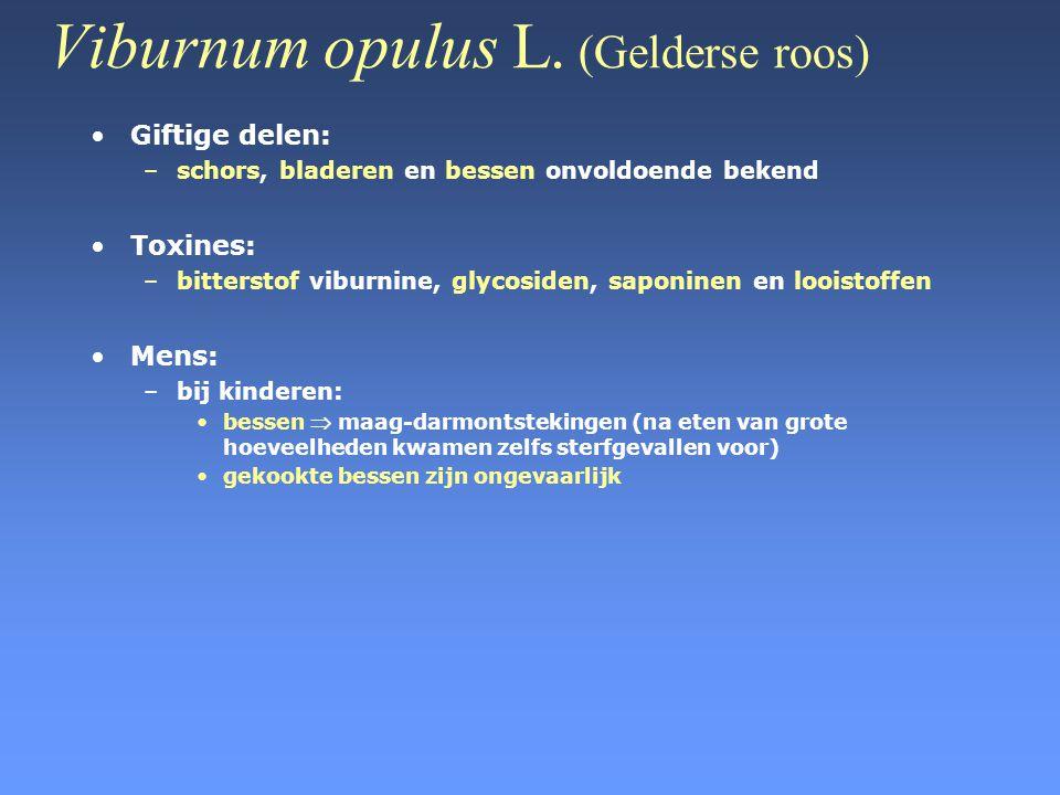 Viburnum opulus L. (Gelderse roos)