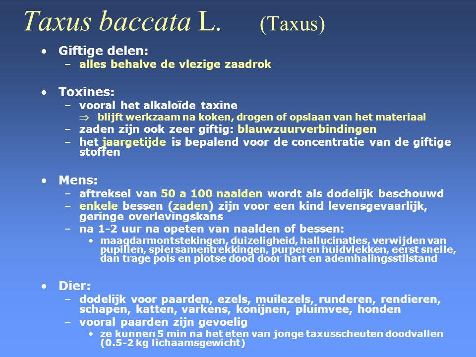 Taxus baccata L. (Taxus)