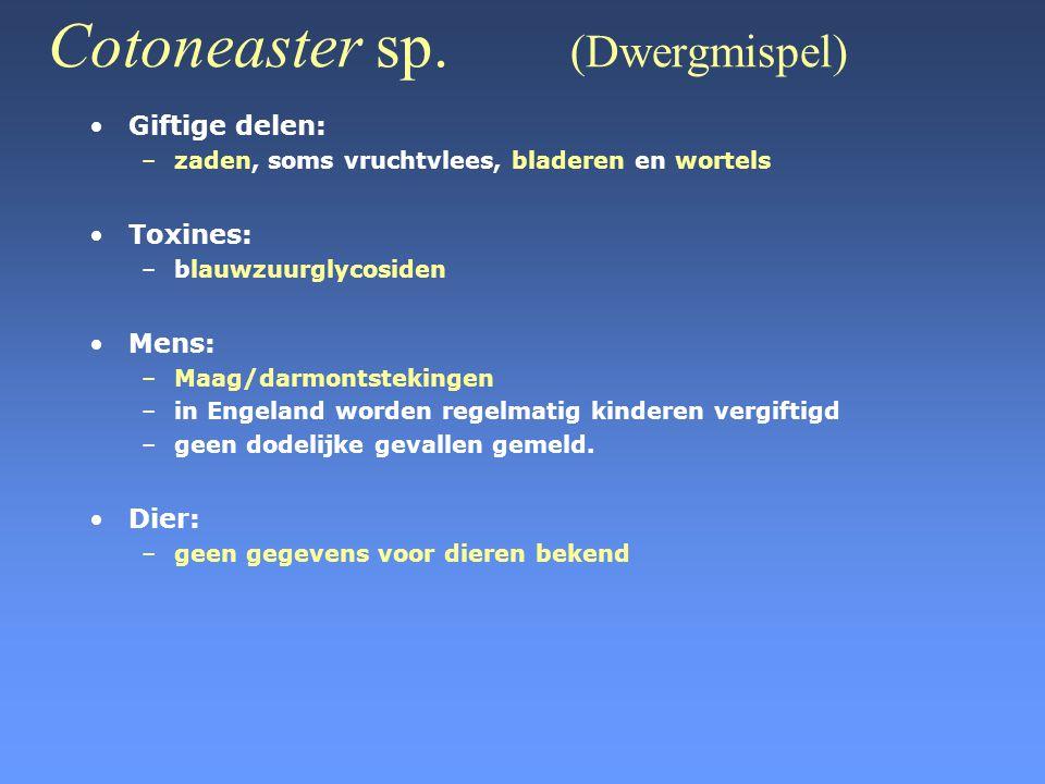 Cotoneaster sp. (Dwergmispel)