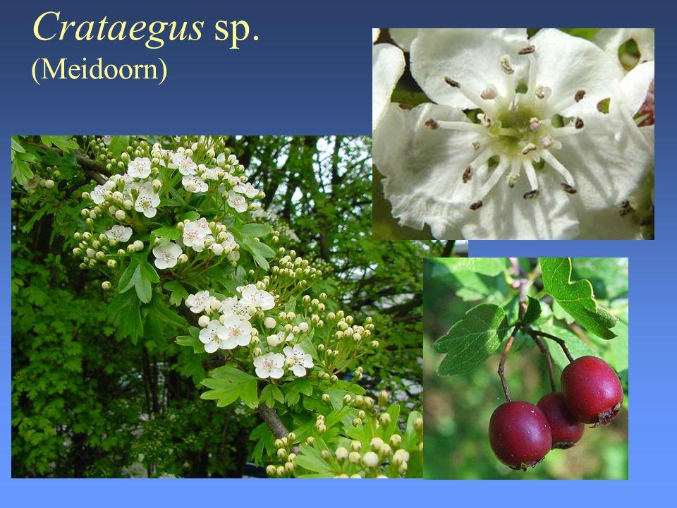 Crataegus sp. (Meidoorn)