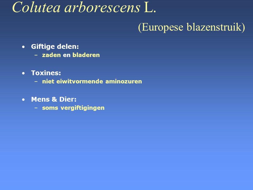 Colutea arborescens L. (Europese blazenstruik)