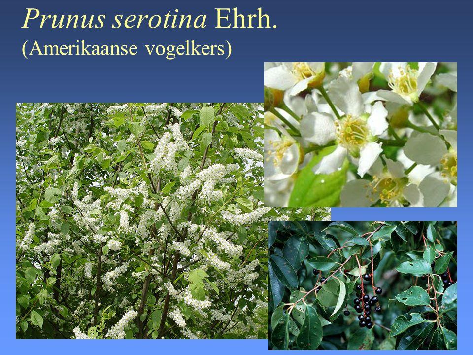 Prunus serotina Ehrh. (Amerikaanse vogelkers)