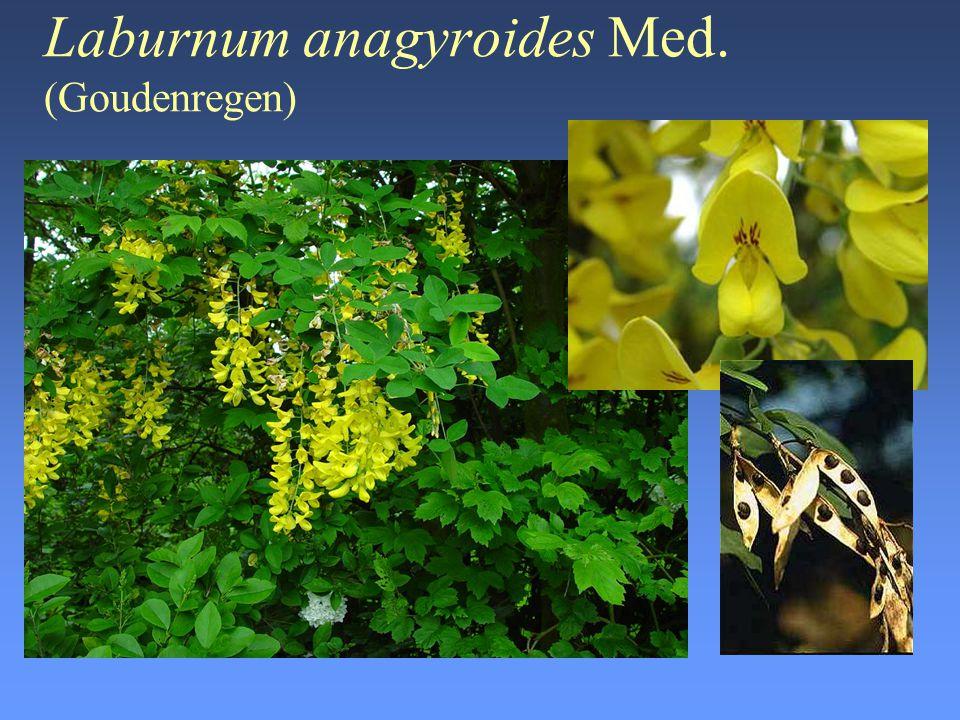 Laburnum anagyroides Med. (Goudenregen)