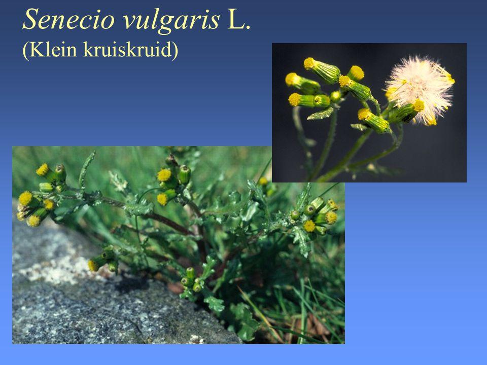 Senecio vulgaris L. (Klein kruiskruid)