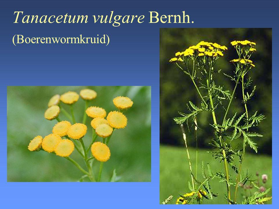 Tanacetum vulgare Bernh. (Boerenwormkruid)
