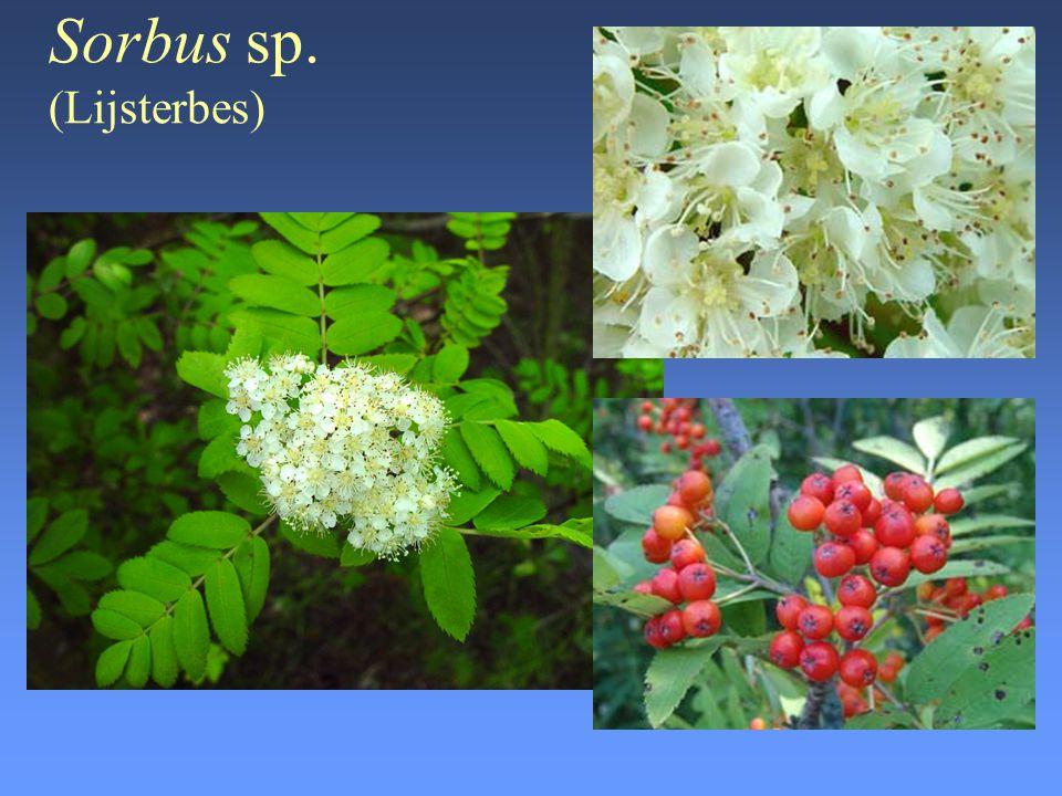 Sorbus sp. (Lijsterbes)