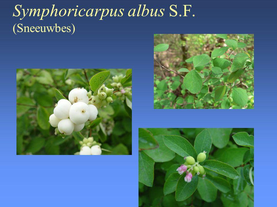 Symphoricarpus albus S.F. (Sneeuwbes)