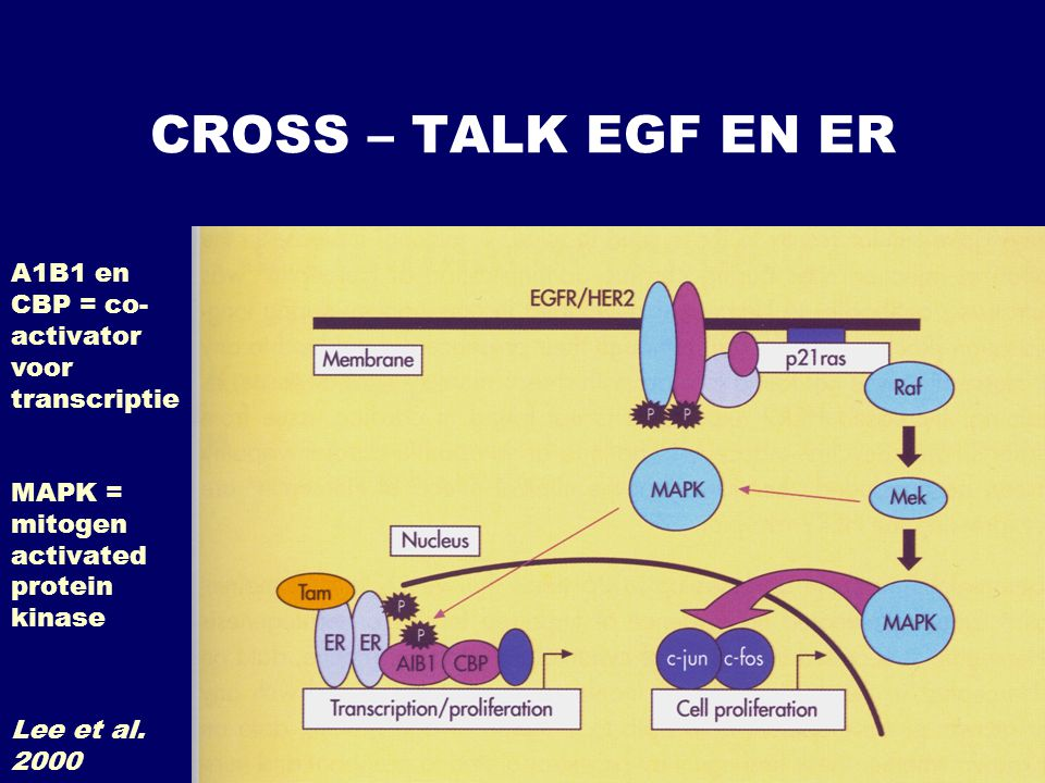 CROSS – TALK EGF EN ER A1B1 en CBP = co-activator voor transcriptie