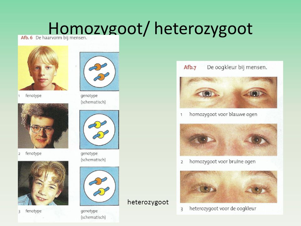 Homozygoot/ heterozygoot
