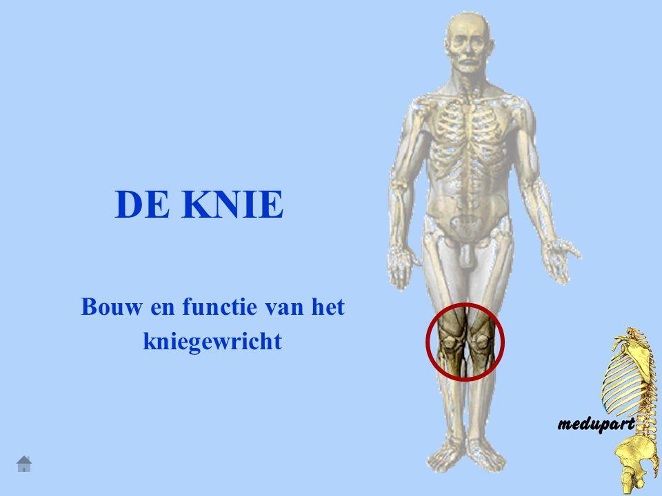 Bouw en functie van het kniegewricht
