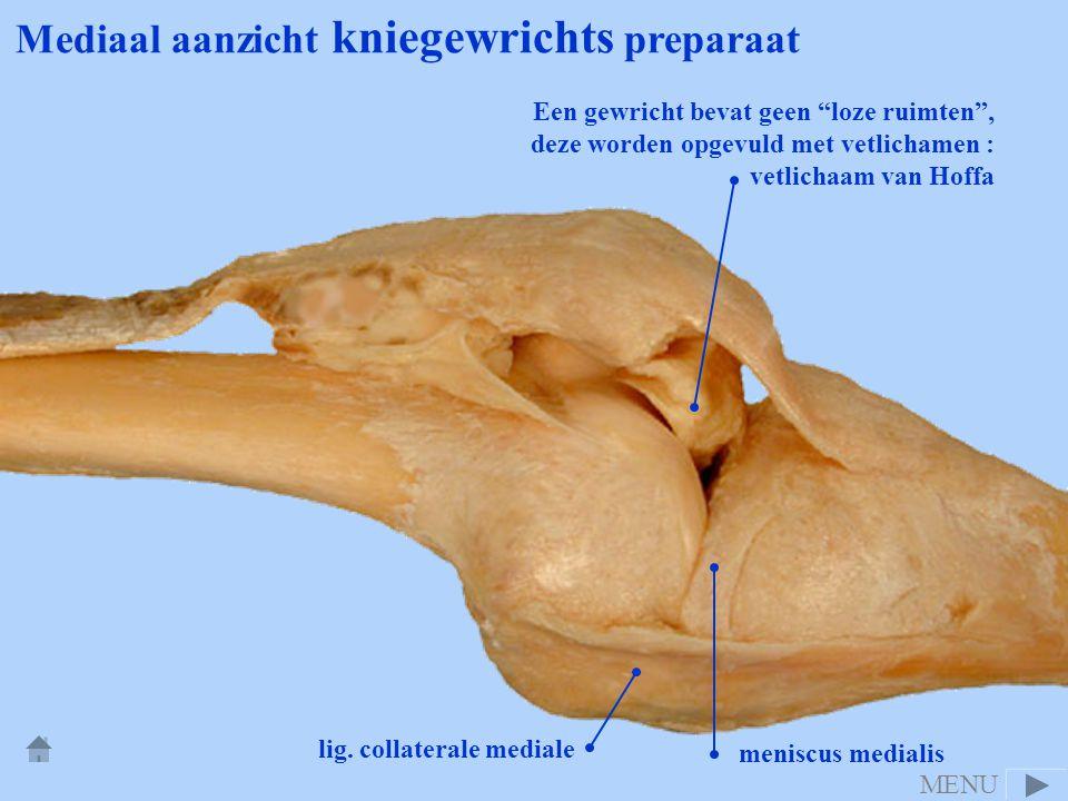 Mediaal aanzicht kniegewrichts preparaat