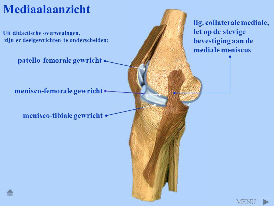 Mediaalaanzicht lig. collaterale mediale, let op de stevige bevestiging aan de mediale meniscus. Uit didactische overwegingen,