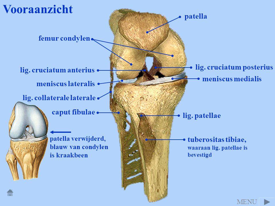 Vooraanzicht patella femur condylen lig. cruciatum posterius