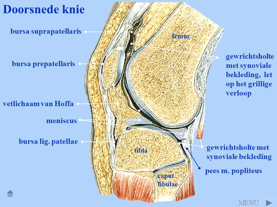 Doorsnede knie bursa suprapatellaris