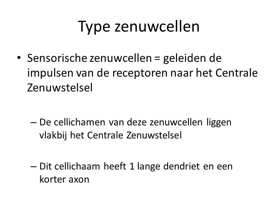 Type zenuwcellen Sensorische zenuwcellen = geleiden de impulsen van de receptoren naar het Centrale Zenuwstelsel.