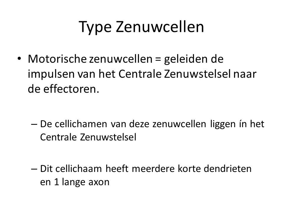 Type Zenuwcellen Motorische zenuwcellen = geleiden de impulsen van het Centrale Zenuwstelsel naar de effectoren.